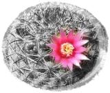 Cactus.flor.rosa